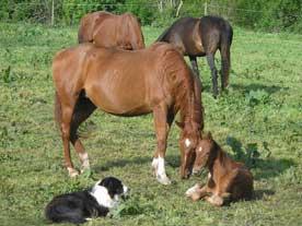 En la yeguada Los Valles, criamos caballos de raza Quarter Horse y ...